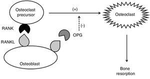 Action scheme of RANKL, RANK, and OPG in the regulation of osteoclastogenesis and bone resorption.