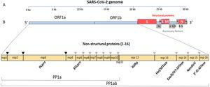 The SARS-CoV-2 genome has many ORFs and encodes as far as 50 non-structural, structural, and accessory proteins. Source: Romano et al.7.