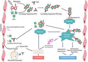 Fisiopatología de la trombopenia inducida por heparina El tratamiento con el anticoagulante polianiónico heparina favorece la formación de complejos con el factor 4 plaquetario (PF4) cargado positivamente. Estos complejos expresan neoepítopos que inducen la formación de anticuerpos por las células plasmáticas. Los complejos inmunes resultantes activan las plaquetas y promueven la formación de micropartículas procoagulantes y la generación de trombina. Los anticuerpos patogénicos también reconocen PF4 ligado a heparán sulfato y otros glicosaminoglicanos, induciendo activación del endotelio y monocitos y promoviendo la generación de factor tisular. La consecuencia será la aparición de trombosis en pacientes con TIH.