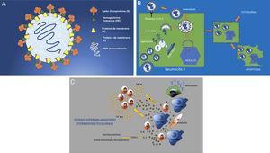 """A) Estructura del SARS-CoV-2 (SARS-2). Virus ARN monocatenario y encapsulado con glicoproteínas de superficie. La proteína """"S"""" (Spike) es la que le confiere la característica morfología en corona y la que establece la unión con los receptores celulares ECA II. B) Infección y replicación viral del SARS-2. El virus se une a los receptores ECA II de la célula huésped (en este caso del neumocito tipo II), para entrar en la célula por endocitosis a través de la membrana celular. La envoltura del virus se destruye por proteólisis quedando libre el ARN que se replica para posteriormente, a través de membranas, formadas por el aparato de Golgi y endoplásmico de la célula, formar virones completos (inclusiones virales en los tejidos de autopsias). Estos virones se eliminan por exocitosis a través de la membrana celular. Otras proteínas del virus permiten la entrada en el núcleo alterándolo estructural y funcionalmente y llevando a la célula a una muerte programada o apoptosis celular. C) La afectación celular del virus provoca la activación de macrófagos, células endoteliales, células dendríticas, etc. que producen citoquinas (IL-1, IL-6, IL-8) y la activación de linfocitos T como respuesta rápida de la inmunidad. Pero si esta respuesta no es rápida (respuesta tardía) o simplemente no está bien regulada, se produce una sobreproducción a través de ITF y TNF que provoca una mayor activación de macrófagos y otras células (tormenta de citoquinas). COX-2: ciclooxigenasa-2; TNF: factor de necrosis tumoral; IL: interleuquina; ITF: interferón."""