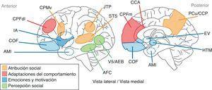 Representación de las áreas anatómicas involucradas en la cognición social. En amarillo se indican los territorios anatómicos vinculados a los procesos de atribución social. En rojo se presentan las áreas asociadas a las adaptaciones del comportamiento. En azul se representan las regiones vinculadas a los procesos relacionados con las emociones y la motivación. En verde se señalan las áreas a las que se atribuye participación en los procesos de percepción sensorial. AFC: área fusiforme; AMI:amígdala; CCP: córtex cingulado posterior; COF:córtex orbitofrontal; CPFdl:córtex prefrontal dorsolateral; CPFm:córtex prefrontal medial; CPMv: corteza premotora ventral; EV:estriado ventral; IA:ínsula anterior; JTP: junción temporoparietal; PCu: precúneo; STS: surco temporal superior.