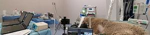 Organización de la sala durante el experimento. Oveja anestesiada con TIVA y posicionada en decúbito esternal en la mesa de radiología. El animal está conectado al prototipo del ventilador y moditorizado con monitor multipramétrico (B40, GE, Chicago, Illinois, EEUU), de gasto cardíaco (MostCare, Vygon, Ecouen, Francia) y mecánica ventilatoria (FluxMed GrE, MBMED, Buenos Aires Argentina). Todos los datos fueron almacenados y el experimento grabado en su totalidad.