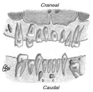 Ilustración del emplazamiento del diente SN en función de si es craneal o caudal a otro diente. En el maxilar superior es craneal cuando se sitúa más apical al diente de referencia y caudal si es más coronal al diente adyacente. En el maxilar inferior se describe al revés que en el superior. Por ejemplo, el SN: (a) localizado en el maxilar superior, presenta orientación vertical incluida y posición craneal respecto al diente adyacente; (b) es vertical invertido incluido y tiene posición caudal; (c) se orienta transversalmente y en situación caudal; y (d) muestra disposición horizontal y se sitúa cranealmente al molar subyacente, que se asocia con anquilosis alvéolo-dentaria.
