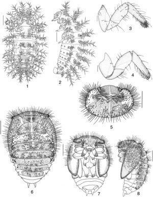 Epilachna vigintioctopunctata (Fabricius). Larva: 1, 2, habitus (dorsal, lateral); 3, 4, leg (external, internal view). Pupa: 5, head and pronotum; 6–8, habitus (dorsal, ventral, lateral). Bars=1mm.