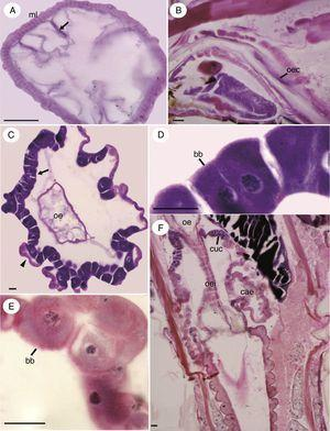 Micrographs of the foregut and gastric caeca region of immature Chironomus sancticaroli. (A) Cross-section of the esophagus with longitudinal folds formed by the epithelium (arrow) and the longitudinal muscle layer; (B) longitudinal section showing the oesophageal lining epithelium (arrow); (C) cross-sectional of the caecum of the larva, note the Cuénot cells (arrow), cells of the caecum (arrowhead) and esophagus; (D) the Cuénot cells are detailed; (E) in detail, cells of gastric caeca; (F) longitudinal section the region of the caecum showing the estomodeal valve. bb: brush border; cae: gastric caeca; cuc: Cuénot cells; ml: muscle layer; oe: esophagus; oec: esophagus cells; oei: esophagus invagination. Stain: Harris hematoxylin and eosin. Scale bar=20μm.