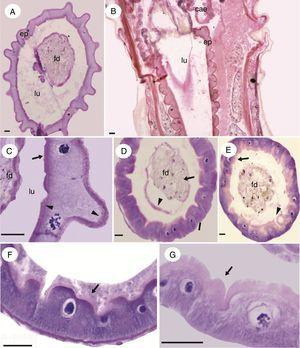 Micrographs of the midgut of immature Chironomus sancticaroli. (A) Cross-section of the midgut region I; (B) longitudinal section of the midgut region I; (C) cells of the epithelium of the midgut region I, showing the little brush border area (arrow) and apical and basal eosinophilia of the cell (arrowhead); (D) cross-section of the midgut region II; (E) Cross-section of the region III of the midgut; (F) Brush border (arrow) and peritrophic matrix (arrowhead) in region II of the midgut and (G) Brush border (arrow) and cells in the process of secretion (arrowhead) in region III of midgut. cae: gastric caeca; ep: gut epithelia; fd: food; lu: lumen. Stain: Harris hematoxylin and eosin. Scale bar=20μm.