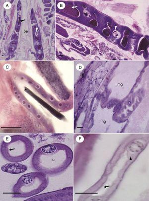 Micrographs of structures attached to the digestive tract of immature Chironomus sancticaroli. (A, B) Tangential section of the salivary gland, showing parts of the lumen containing secretion (arrow) and cells, highlighting the nucleus with polytene chromosomes (arrowhead); (C) longitudinal section of salivary gland duct, note the presence of content in the lumen (*); (D) longitudinal section showing the insertion site of a Malpighian tubule in the digestive system; (E) cross-section of the tubules with the lumen and the brush border (arrow); (F) longitudinal section of a tubule with the brush border (arrow) and the projection of the nucleus into the lumen (arrowhead). hg: hindgut; ir: insertion region; lu: lumen; mg: midgut; oe: esophagus. Stain: Harris hematoxylin and eosin. Scale bar=20μm.