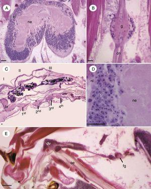 Micrographs of nervous system structures of immature of Chironomus sancticaroli. (A) Longitudinal section showing the brain cortical and neuropile; (B) longitudinal section of a ganglion in the nerve cord and a connective sheaf formed by axons; (C) longitudinal section showing the brain, thoracic ganglia and the first abdominal ventral nerve cord (numbers); (D) cross-section of the brain; (E) longitudinal section of the cephalic region of the larva, in detail is the frontal ganglion, anterior to the brain. 1st: first thoracic gangliom, 2nd: second thoracic gangliom; 3rd: third thoracic gangliom, I–III: thoracic segments; 4th: first abdominal gangliom; br: brain; cl: cortical layer, cn: connective; dv: diverticulum; fg: frontal gangliom; g: gangliom, ne: neuropile; nl: neural lamella, oe: esophagus; sg: salivary gland, tr: trophoblastes. Stain: Harris hematoxylin and eosin. Scale bar=20μm.