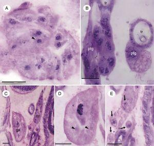 Micrographs of glands from the retrocerebral complex of the immature Chironomus sancticaroli. (A) Longitudinal section of the corpora allata, showing the glandular epithelium, demonstrating the cell nucleus (arrowhead); (B) longitudinal section of the prothoracic gland; (C) longitudinal section showing the region of the complex, demonstrating the anterior postcerebral gland and the small group of cells that make up the corpora cardiac; (D) detail of the anterior postcerebral gland, note the granules in their cytoplasm (arrowhead); (E) detail of the small group of cells that make up the corpora cardiaca (arrows). cc: corpora cardiaca; ga: anterior postcerebral gland; ptg: prothoracic gland, tr: trachea. Stain: Harris hematoxylin and eosin. Scale bar=20μm.