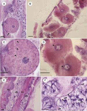 Micrographs of the fat body of immature Chironomus sancticaroli. (A) Hemoglobin cell in parietal fat body; (B) oenocyte, arranged in groups distributed in the parietal fat body; (C) in detail, the hemoglobin cell presenting granules in its cytoplasm (arrowhead); (D) grouped oenocytes showing the basophilic perinuclear cytoplasm (arrowhead); (E) longitudinal showing the arrangement of the parietal and visceral fat body; (F) in detail the trophocytes, cells that are in greater quantity in this tissue, note the perinuclear cytoplasm (arrowhead) and the vacuoles filling the cell (arrows). ct: cuticle; dg: digestory tube; llm: longitudinal muscle layer; pfb: parietal faty body, tr: trophocytes; vfb: visceral body fat. Stain: Harris hematoxylin and eosin. Scale bar=20μm.