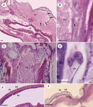 Micrographs of the circulatory system and the integument of immature Chironomus sancticaroli. (A) Longitudinal section of the heart, note the ostium region (arrows); (B) longitudinal section of the region of the vessel wall with the cell of the vessel (arrowhead); (C) longitudinal section showing the aortic valves (*); (D) pericardial cells attaching to the wall of the aorta; (E) longitudinal section of the integument of the head capsule, showing the epithelium and the large amount of exocuticle; (F) longitudinal section of the integument of the body of the larva, note the greater amount of endocuticle. alu: aortic lumen; ao: aorta, ed: endocuticle; ep: epidermis, e.g. exocuticle; h: hemolymph, ht: heart; re: rectum. Stain: Harris hematoxylin and eosin. Scale bar=20μm.