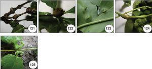 Insect galls of Guaxindiba. 121 and 122. Pouteria sp. 2, 121: globose stem gall; 122: globose bud gall; 123. Smilax krukovii, conical leaf gall; 124. Lantana camara, fusiform stem gall; 125. Lantana sp., cylindrical leaf gall.
