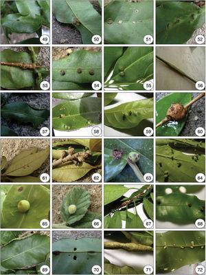 Insect galls of Guaxindiba. 49 and 50. Senna sp., 49:marginal leaf roll; 50: globose leaf gall; 51. Zollernia ilicifolia, circular leaf gall; 52–57. Tontelea sp. 1, 52: conical leaf gall; 53: globose stem gall; 54: discoid leaf gall; 55: globose leaf gall; 56: fusiform stem gall; 57: marginal leaf roll; 58. Tontelea sp. 2, circular leaf gall; 59. Hypericaceae sp., conical leaf gall; 60–62. Byrsonima sericea, 60: globose stem gall; 61: circular leaf gall; 62: fower bud gall; 63: Mascagnia sp., globose leaf gall; 64–65. Stigmaphyllon lalandianum, 64: conical leaf gall; 65. globose leaf gall; 66. Sidastrum micranthum, globose leaf gall; 67. Trichilia elegans, fusiform stem gall; 68. Trichilia rubra, cylindrical leaf gall; 69. Trichilia sp. 1, marginal leaf roll; 70. Trichilia sp. 2, vein swelling; 71. Trichilia sp. 3, fusiform stem gall; 72. Trichilia sp. 4, cylindrical leaf gall.