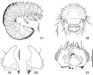 Third instar larva of Hoplia squamifera. 17, lateral habitus. 18, head, frontal view. Mandibles, ventral view: 19, left. 20, right. 21, epipharynx.