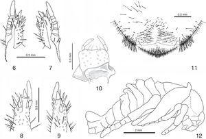 Hoplia mexicana. 6–11: third instar larva. Maxillae: dorsal view: 6, left. 7, right. Mesial view: 8, left. 9, right. 10, labium and hypopharynx. 11, raster. 12, MALE pupa, lateral view.