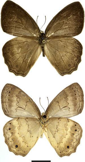 Adult male of Sepona punctata – Jaru, Rondônia, Brazil. Dorsal above, ventral below.