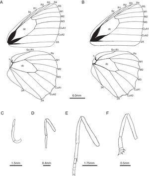 Morphological characters of Sepona punctata. A, male wing venation – forewing above and hind wing below&#59; B, female wing venation – forewing above and hind wing below&#59; C, male palpus&#59; D, male foreleg&#59; E, male midleg&#59; F female foreleg.