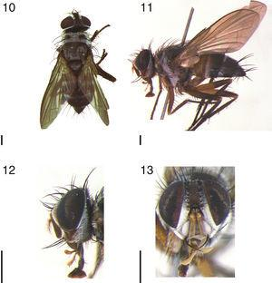 Cholomyia acromion (Wiedemann), ♀: 10, dorsal habitus; 11, lateral habitus; 12, head, lateral view; 13, head, frontal view. Scale bar: 1mm.