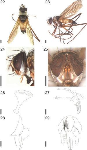Cholomyia inaequipes Bigot, ♂: 22, dorsal habitus; 23, lateral habitus; 24 head, lateral view; 25 head, frontal view. 26–29, ♂ terminalia: 26, ejaculatory apodeme, lateral view; 27, aedeagus and hypandrium, lateral view; 28, epandrium, surstylus and cerci, lateral view; 29, epandrium, surstylus and cerci, posterior view. Scale bar from figures 22 to 25: 1mm; figures 26 to 29: 0.1mm.