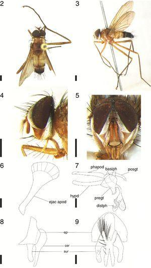 Cholomyia acromion (Wiedemann), ♂: 2, dorsal habitus; 3, lateral habitus; 4, head, lateral view; 5, head, frontal view. 6–9, ♂ terminalia: 6, ejaculatory apodeme, lateral view; 7, aedeagus and hypandrium, lateral view; 8, epandrium, surstylus and cerci, lateral view; 9, epandrium, surstylus and cerci, posterior view. (Legends: basiph, basiphallus; cer, cerci; distph, distiphallus; ejac apod, ejaculatory apodeme; ep, epandrium; hypd, hypandrium; phapod, phallapodeme; pregt, pregonite; posgt, postgonite; sur, surstylus). Scale bar from figures 2 to 5: 1mm; figures 6 to 9: 0.1mm.