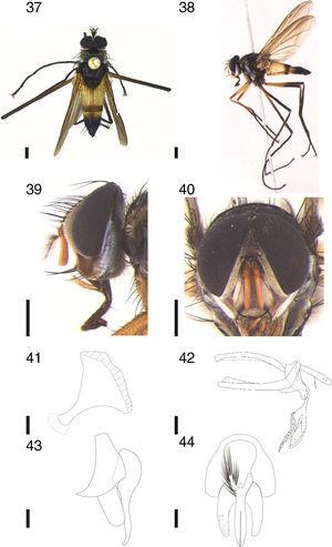 Cholomyia zumbadoi sp. nov., ♂: 37, dorsal habitus; 38, lateral habitus; 39 head, lateral view; 40 head, frontal view. 41–44, ♂ terminalia: 41, ejaculatory apodeme, lateral view; 42, aedeagus and hypandrium, lateral view; 43, epandrium, surstylus and cerci, lateral view; 44, epandrium, surstylus and cerci, posterior view. Scale bar from figures 37 to 40: 1mm; figures 41 to 44: 0.1mm.