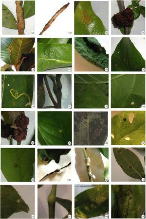Insect galls of Mato Grosso do Sul in host plants indicated. 122 and 123. Eugenia punicifolia; 124 and 125. Myrcia sp.; 126. Psidium guajava; 127. Ludwigia longifolia; 128. Piper sp.; 129. Roupala montana; 130. Bathysa sp.; 131. Guettarda pohliana; 132–136. Psychotria carthagenensis; 137 and 138. Randia armata; 139. Rubiaceae sp. 1; 140. Rubiaceae sp. 2; 141–143. Zanthoxylum sp.; 144. Zanthoxylum riedelianum; 145. Casearia sp.