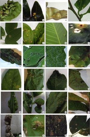 Insect galls of Mato Grosso do Sul in host plants indicated. 2. Annona emarginata; 3 and 4. Duguetia furfuracea; 5. Annonaceae sp.; 6. Aspidosperma cylindrocarpon; 7 and 8. Aspidosperma olivaceum; 9. Aspidosperma subincanum; 10–13. Forsteronia rufa; 14. Forsteronia velloziana; 15. Asteraceae sp. 1; 16. Asteraceae sp. 2; 17. Mikania sp.; 18. Vernonia polyanthes; 19–22. Vernonanthura brasiliana; 23. Adenocalymma bracteatum; 24 and 25. Fridericia chica.