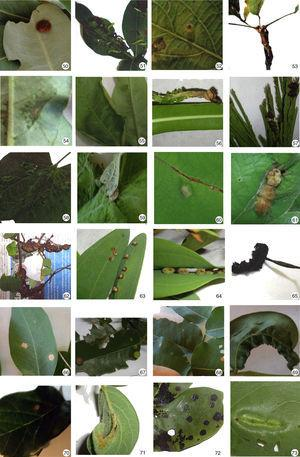 Insect galls of Mato Grosso do Sul in host plants indicated. 50. Erythroxylum suberosum; 51. Manihot tripartite; 52. Croton floribundus; 53. Croton sp. 1; 54 and 55; Croton sp. 2; 56. Sapium glandulosum; 57. Anadenanthera peregrina var. falcate; 58. Bauhinia mollis; 59. Bauhinia holophylla; 60 and 61. Bauhinia holophylla; 62. Bauhinia longifolia; 63–65. Bauhinia ungulate; 66 and 67. Copaifera langsdorffii; 68 and 69. Dipteryx alata; 70. Fabaceae sp.; 71. Galactia striata; 72 and 73. Guibourtia hymenaeifolia.
