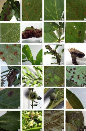 Insect galls of Mato Grosso do Sul in host plants indicated. 74. Guibourtia hymenaeifolia; 75–78. Hymenaea stigonocarpa; 79–82. Inga vera; 83. Machaerium amplum; 84. Mimosa sp. 1; 85 and 86. Mimosa sp. 2; 87. Mimosa sp. 3; 88 and 89. Peltogyne confertiflora; 90. Senna velutina; 91. Hyptis brevipes; 92. Hyptis sp.; 93. Lauraceae sp.; 94. Persea sp.; 95. Strychnos parvifolia; 96 and 97. Amorimia pubiflora.