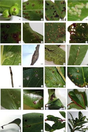 Insect galls of Mato Grosso do Sul in host plants indicated. 99. Amorimia pubiflora; 99. Byrsonima crassifolia; 100. Bunchosia paraguariensis; 101. Mascagnia cordifolia; 102. Mascagania sepium; 103. Malpighiaceae sp.; 104. Luehea divaricata; 105. Malvaceae sp.; 106. Byttneria dentata; 107. Waltheria indica; 108. Melastomataceae sp.; 109. Guarea guidonia; 110. Cissampelos pareira; 111. Brosimum gaudichaudii; 112. Campomanesia pubescens; 113. Eugenia bimarginata; 114–119. Eugenia florida; 120 and 121. Eugenia punicifolia.