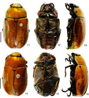 Pelidnota. 11–13, Pelidnota nordestina sp. nov., male holotype (dorsal, ventral, lateral); 14–16, P. pernambucana sp. nov., male holotype (dorsal, ventral, lateral). Scale bars: Figs. 11–13=5.5mm, Figs. 14–16=5.0mm.