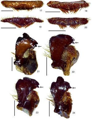 Mouthparts. 17–20, labrum in frontal view&#59; 17, P. beckeri sp. nov.&#59; 18, P. unicolor (Drury)&#59; 19, P. nordestina sp. nov.&#59; 20, P. pernambucana sp. nov.&#59; 21–24, left mandible in dorsolateral view&#59; 21, Pelidnota beckeri sp. nov.&#59; 22, P. unicolor (Drury)&#59; 23, P. nordestina sp. nov.&#59; 24, P. pernambucana sp. nov. Scale bars: Figs. 17–24=2.0mm.
