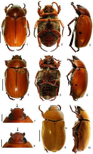 Pelidnota. 1–8, Pelidnota beckeri sp. nov.&#59; 1–3, male holotype (dorsal, ventral, lateral)&#59; 4–6, female paratype (dorsal, ventral, lateral)&#59; 7–8, clypeus in dorsal view (male, female)&#59; 9–10, P. unicolor (Drury, 1778) (dorsal, lateral). Scale bars: Figs. 1–6=9.0mm, Figs. 7–8=2.5mm, Figs. 9–10=8.2mm.