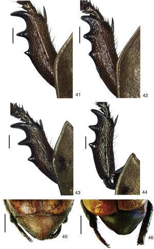 Protibia and pygidium in dorsal view. 41–44, left protíbia&#59; 41, Pelidnota beckeri sp. nov.&#59; 42, P. unicolor (Drury)&#59; 43, P. nordestina sp. nov.&#59; 44, P. pernambucana sp. nov.&#59; 45–46, pygidium&#59; 45, P. nordestina sp. nov.&#59; 46, P. pernambucana sp. nov. Scale bars: Figs. 41–42=1.0mm, Figs. 45–76=2.7mm.