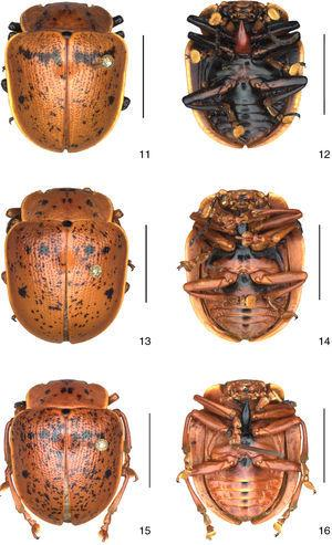 Platyphora congener (Stål, 1858), 11, 13, 15, dorsal view&#59; 12, 14, 16, ventral view. Scale 10mm.