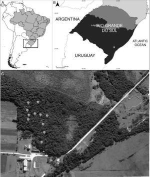 Studied area. (A) Map of South America, with Brazil in gray and the state of Rio Grande do Sul highlighted. (B) Map of the state of Rio Grande do Sul, highlighting the Horto Botânico Irmão Teodoro Luís (HBITL) with a circle. (C) Satellite image of the Restinga forest of HBITL, with the positions of the traps shown (Google Earth).