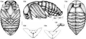 Pupa of Platycoelia valida. 13a, ventral view, 13b, lateral view, 13c, dorsal view. Ventral view of last abdominal segment showing genital ampulla: 13d, male, 13e, female, 13f, detail of dorsal view of genital plate of female. Scale lines=2mm.