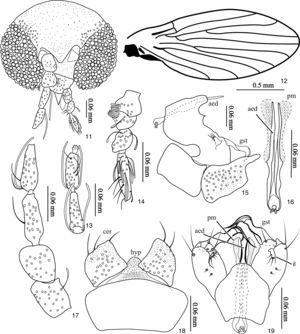 Trichomyia pantanensis sp. nov. 11. Head&#59; 12. Left wing&#59; 13. Last flagellomeres, 14. Palpus&#59; 15. Male terminalia, lateral&#59; 16. Parameres and aedeagus&#59; 17. Scape, pedicel and basal flagellomeres&#59; 18. Cerci, epandrium and hypropoct&#59; 19. Male terminalia, dorsal (abbreviations: aed=aedeagus, cer=cercus, gst=gonostylus, hyp=hypoproct, il=internal lobe, pm=paramere).