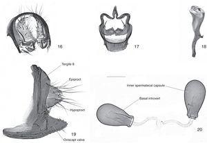 Drosophila butantan sp. nov., male holotype (16–18) and female paratype (19–20), terminalia: (16) epandrium, cerci, surstylus and decasternum, oblique posterior view; (17) hypandrium, gonopods+paraphyses, posterior view; (18) aedeagus+aedeagal apodeme, left lateral view; (19) tergite 8, epiproct and hypoproct, oviscapt valves, left lateral view; (20) inner spermathecal capsules, lateral view. Scale bar=0.1mm.