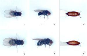 Drosophila butantan sp. nov., paratypes and pupa from isofemale line I48F71: (1, 2) male paratype, and (3, 4) female paratype, in dorsal and right lateral views, respectively&#59; (5, 6) ordinary puparium+pupa, dorsal and oblique dorsal views. Scale bar=1mm.