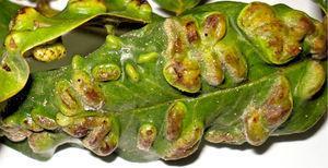 Leaf galls of Lopesia andiraesp. nov. on Andira humilis (Fabaceae).