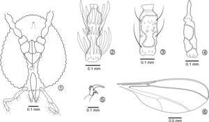 Lopesia andiraesp. nov. 1. Male head (frontal view). 2. Third male flagelomere (frontal view). 3. Third female flagelomere (frontal view). 4. Twelfth female flagelomere with apical process. 5. Male tarsal claw and empodia. 6. Male wing.