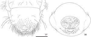 Liogenys bidenticeps, third instar larva&#59; 37, raster&#59; 38, abdominal segment X, posterior. Scale: 1mm.