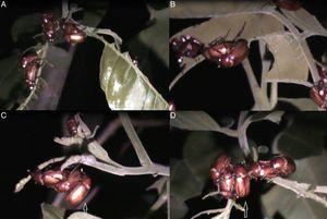 Mating behavior of Liogenys bidenticeps on leaves of Schinus terebinthifolius (Anacardiaceae)&#59; A–B, pairs copulating&#59; C–D, a male competitor next to the pair copulating.