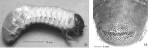 Third instar of Saccharoscaptus laminifer. 13, lateral view of living larva. 14, raster, ventral view.