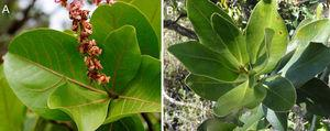 Elbella luteizona host plants in the Cerrado, Distrito Federal, Brazil. (A) Byrsonima coccolobifolia&#59; (B) Myrsine guianensis.