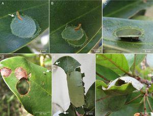 Elbella luteizona shelters built during larval ontogeny. (A–C) phases of the construction of the first larval shelter – type 3&#59; (A and B) larva weaving silk (see arrow) to fold the cut portion over the leaf blade&#59; (C) shelter almost completed&#59; (D) view of an old shelter in the field in which the leaf cover is dead and dried, arrow indicating an egg on the leaf&#59; (E) type 5 shelter, arrow indicating the two-cut&#59; (F) arrow indicating larva in a type 2 shelter, with leaves joined by silk (see Greeney, 2009).