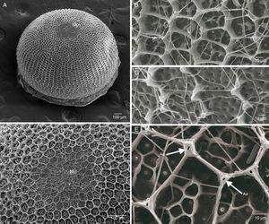 Elbella luteizona, scanning electron microscopy of egg. (A) Dorso-lateral view, Mp=micropylar region&#59; (B) horizontal and vertical carinae forming cells, lateral view&#59; (C) basal region, with incomplete carinae, lateral view&#59; (D) micropylar region, dorsal view&#59; (E) arrow indicating aeropyles (Ae), dorsal view.