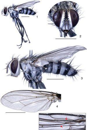 Paxiximyia sulmatogrossensis Toma & Olivier n. gen. and n. sp. Paratype male: (1 and 3) body in lateral view&#59; (2) head in frontal view&#59; (4) left wing, in detail setae on veins R1 and R4+5. Scale bar: 2mm.