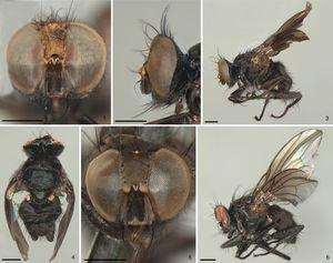 Drepanocnemis aurifronssp. nov., male holotype: (1) head, anterior view; (2) head, lateral view; (3) lateral view; male paratype: (4) dorsal view; female paratype: (5) head anterior view; (6) lateral view. Scale: 0.5mm.